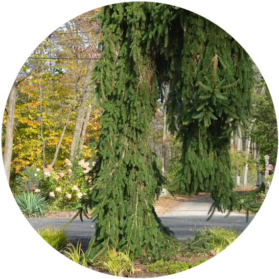 circle-Weeping-Norway-Spruce-1.png
