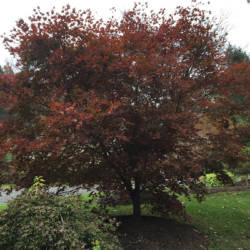 Japanese Maple 'Uncle Ghost'