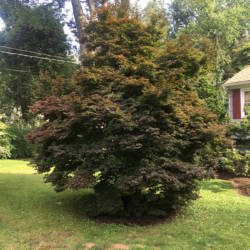 Twombly's Red Sentinel Japanese Maple